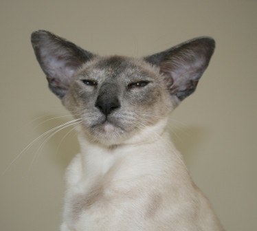 Calvencade Cats Lady Medusa Siamees Blue Cream Point